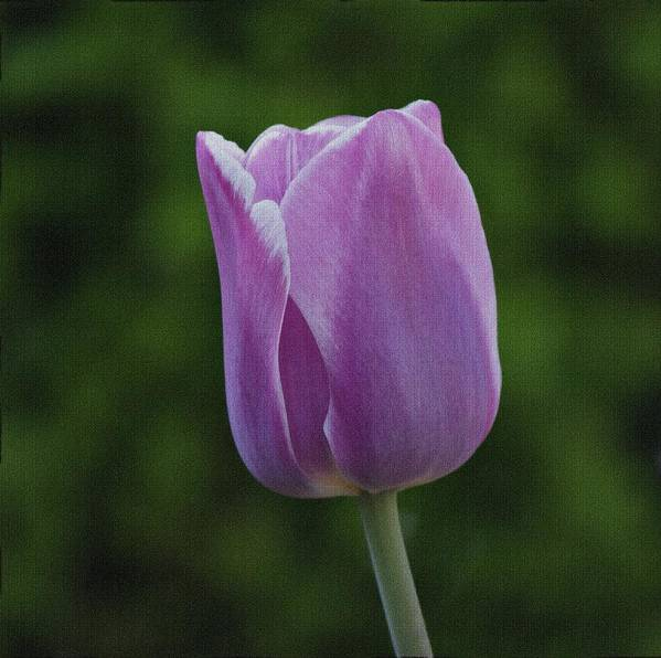 Tulip Poster featuring the photograph Purple Tulip by Sandy Keeton