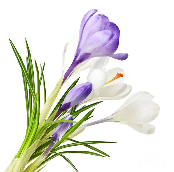 Flowers Poster featuring the photograph Spring Crocus Flowers by Elena Elisseeva
