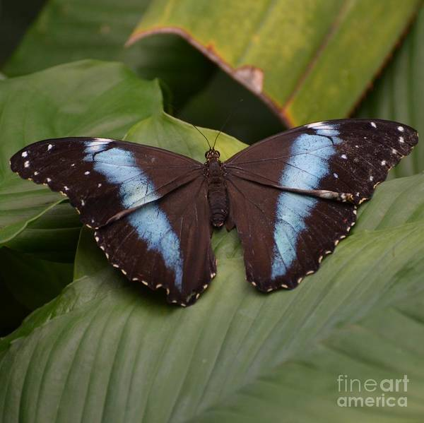 Butterfly Poster featuring the photograph Blue Banded Morpho by Paulina Roybal