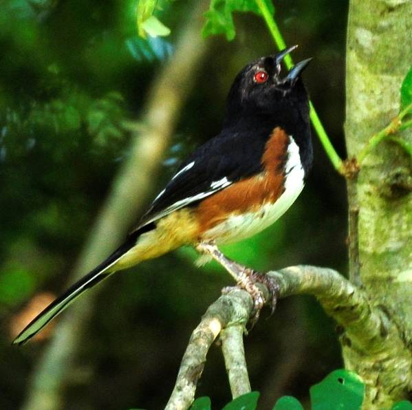 Wild Birds Poster featuring the photograph Eastern Towhee by Terri Albertson