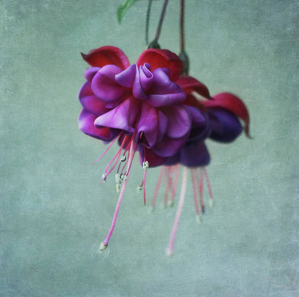 Horizontal Poster featuring the photograph Fuschia Flower by Kim Hojnacki