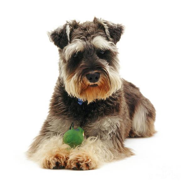 Dog Poster featuring the photograph Miniature Schnauzer by Jane Burton