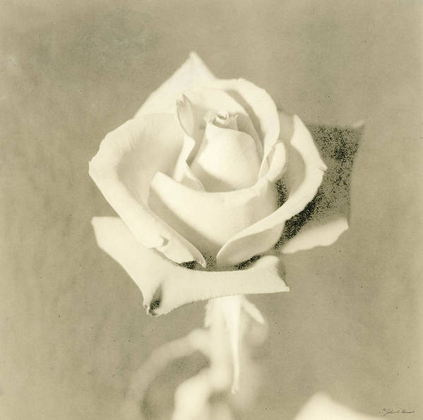 Rose Poster featuring the photograph A Rose Of Alternate Processed by John Harmon