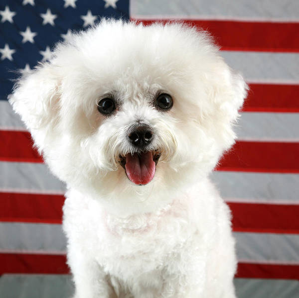 America Poster featuring the photograph Fifi Loves America by Michael Ledray