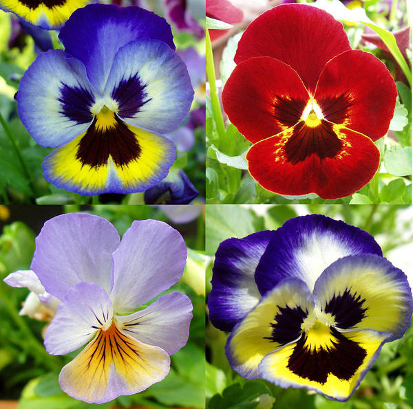 Pansy Poster featuring the photograph Four Pansies by Nancy Mueller