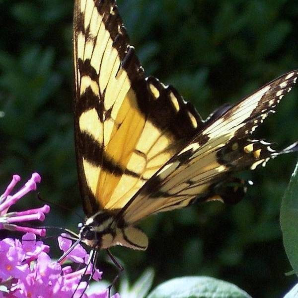 Swallowtail Butterfly Yellow Purple Flower Poster featuring the photograph Swallowtail 2 by Anna Villarreal Garbis