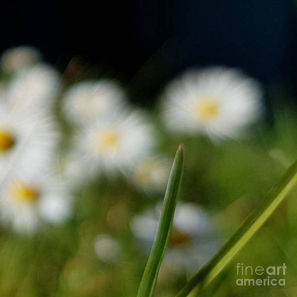 Poster featuring the photograph Daisy Landscape by Paola Baroni