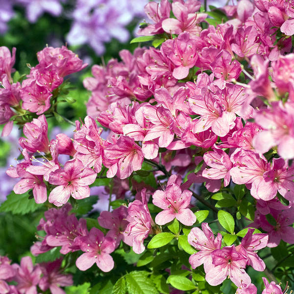 Rhododendron Poster featuring the photograph Pink And Blue Rhododendron by Frank Tschakert