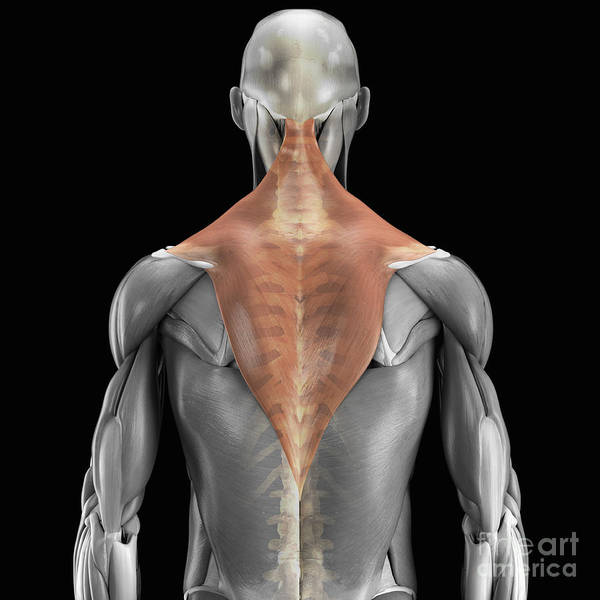 3d Visualisation Poster featuring the photograph Trapezius Muscle With Skeleton by Science Picture Co
