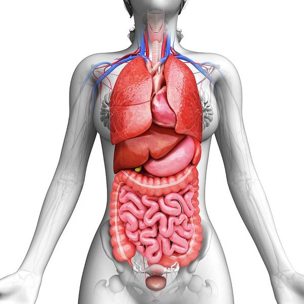 Artwork Poster featuring the photograph Human Digestive System by Pixologicstudio