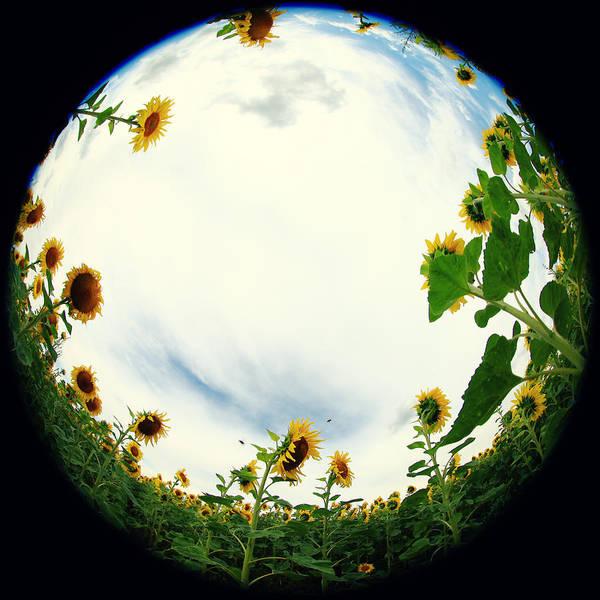 Sonnenblumen Poster featuring the photograph Sunflowers by Falko Follert