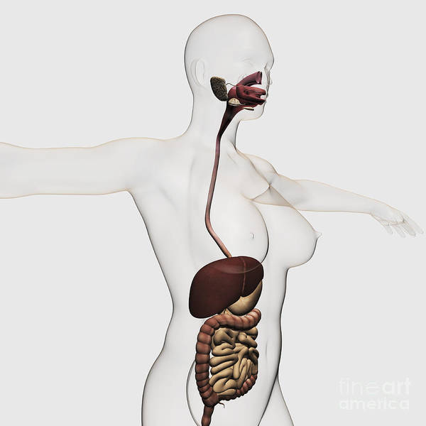 Digestive System Poster featuring the digital art Medical Illustration Of The Human by Stocktrek Images