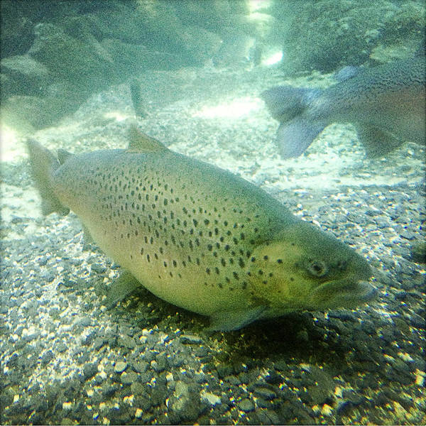 Water Poster featuring the photograph Rainbow Trout by Les Cunliffe
