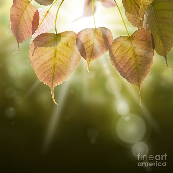 Autumn Poster featuring the photograph Pho Or Bodhi by Atiketta Sangasaeng