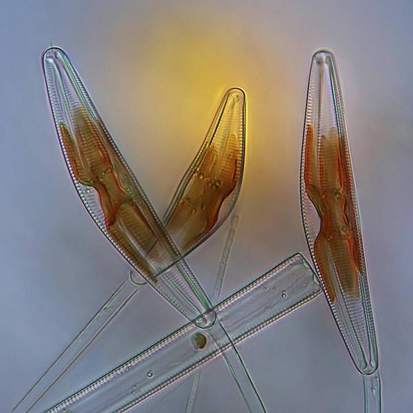 Alga Poster featuring the photograph Diatoms, Light Micrograph by Science Photo Library