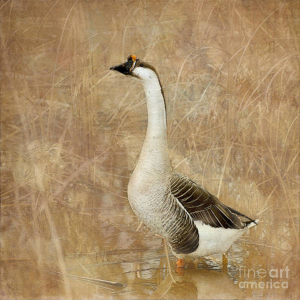 Goose Poster featuring the photograph A Goose Is A Goose by Betty LaRue