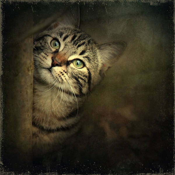 Kitten Poster featuring the photograph A Little Shy by Annie Snel