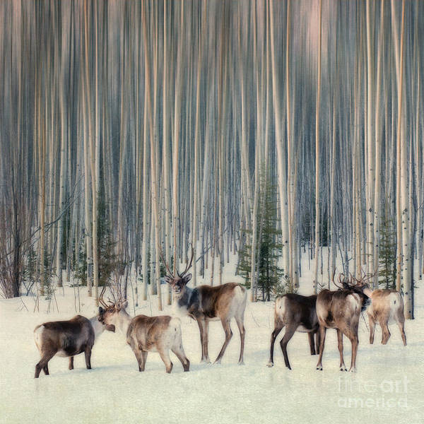 Woodland Caribou Poster featuring the photograph Caribou And Trees by Priska Wettstein