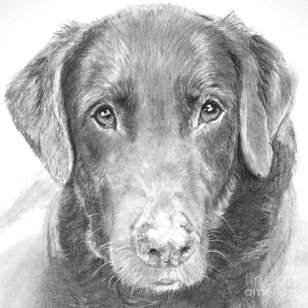 Dog Poster featuring the drawing Chocolate Lab Sketched In Charcoal by Kate Sumners