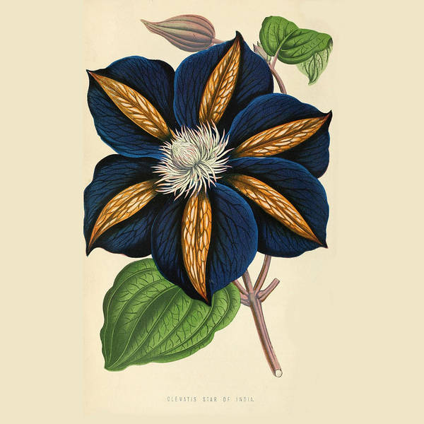 Clematis Poster featuring the painting Clematis Star Of India by Philip Ralley