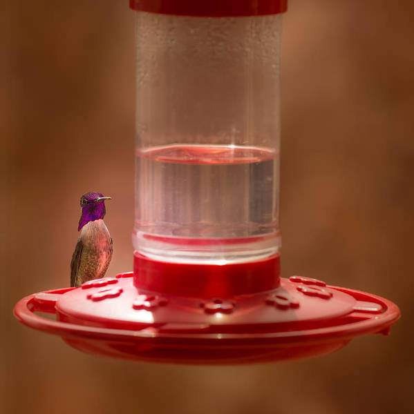 Costa's Hummingbird Poster featuring the photograph Costa's Hummingbird Keeping Guard by Onyonet Photo Studios