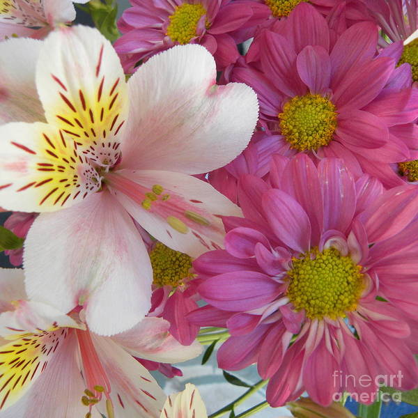 Pink Dasies Poster featuring the photograph Delightful Setting by John Wilson