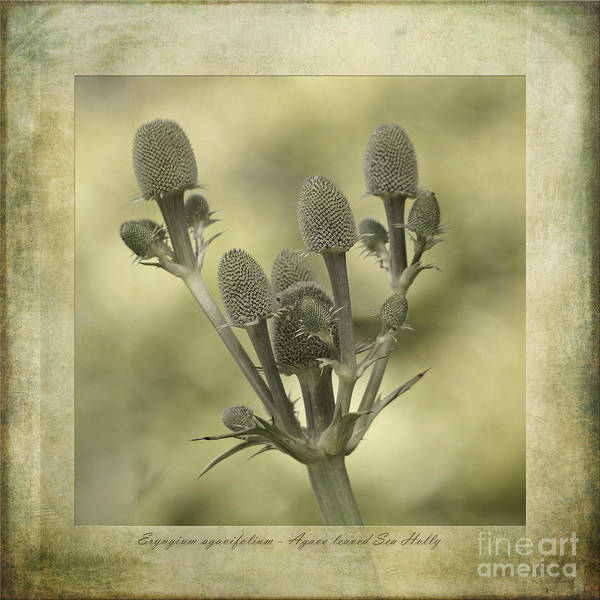 Sea Holly Poster featuring the photograph Eryngium Agavifolium by John Edwards