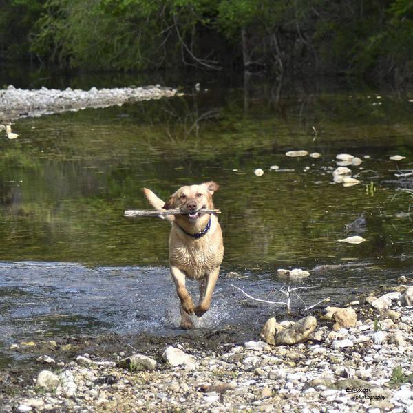 Yellow Labrador Retreiver Poster featuring the photograph Fetch by Teresa Dixon