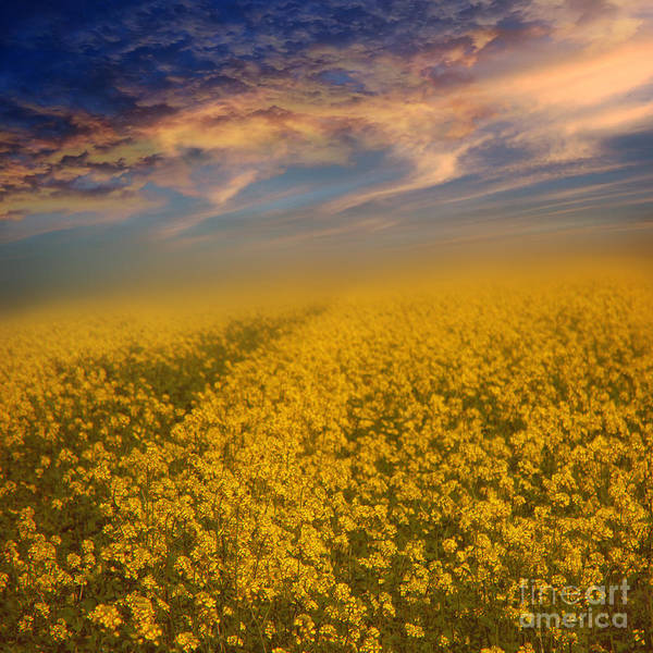 Rapeseeds Poster featuring the photograph Field Of Rapeseed by Monika Pachecka