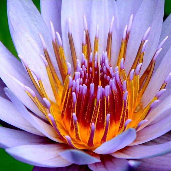 Lotus Flower Poster featuring the photograph Fiery Eloquence by Karon Melillo DeVega