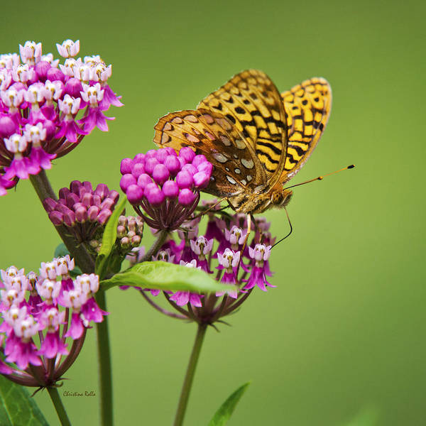 Fritillary Butterfly Poster featuring the photograph Fritillary Butterfly Square Format by Christina Rollo