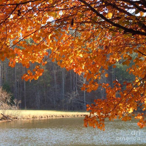 Turning Leaves Poster featuring the photograph Golden Canopy by Pauline Ross