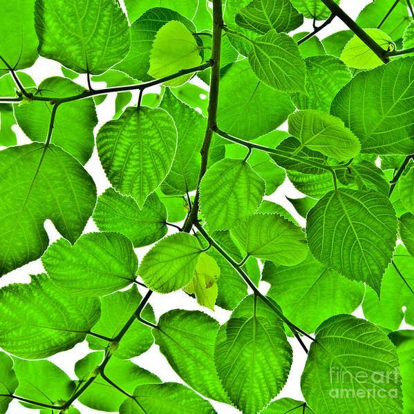 Green Poster featuring the photograph Green Leaves by Kathleen Smith