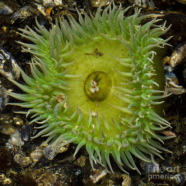 Beach Poster featuring the photograph Green Sea Anemone by Carrie Cranwill