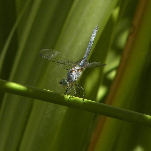 Blue Dragon Fly Poster featuring the photograph Hold On by John Wilson