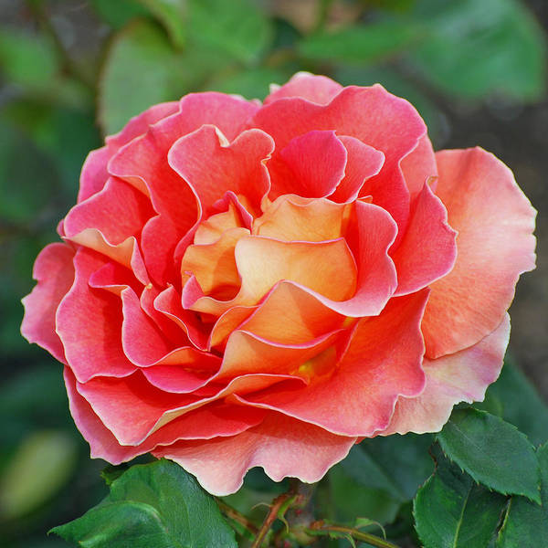 Hybrid Tea Rose Poster featuring the photograph Hybrid Tea Rose by Lisa Phillips