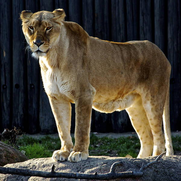 Lioness Poster featuring the photograph Lioness by Frozen in Time Fine Art Photography