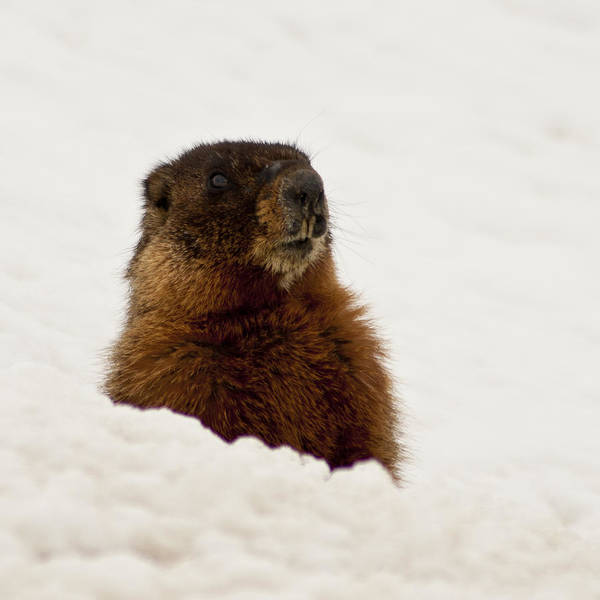 Yellow Bellied Marmot Poster featuring the photograph Marty The Marmot by Daniel Hebard