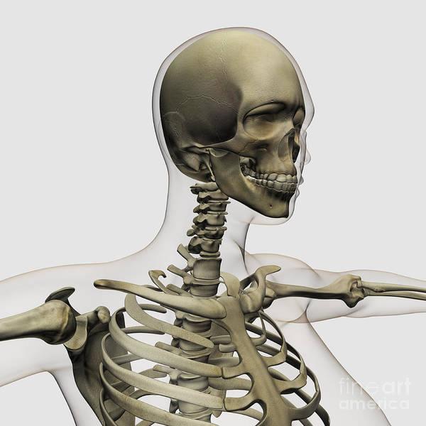 Skeleton Poster featuring the digital art Medical Illustration Of A Womans Skull by Stocktrek Images