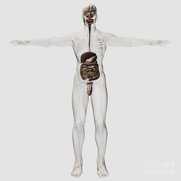 Artwork Poster featuring the digital art Medical Illustration Of Male Digestive by Stocktrek Images