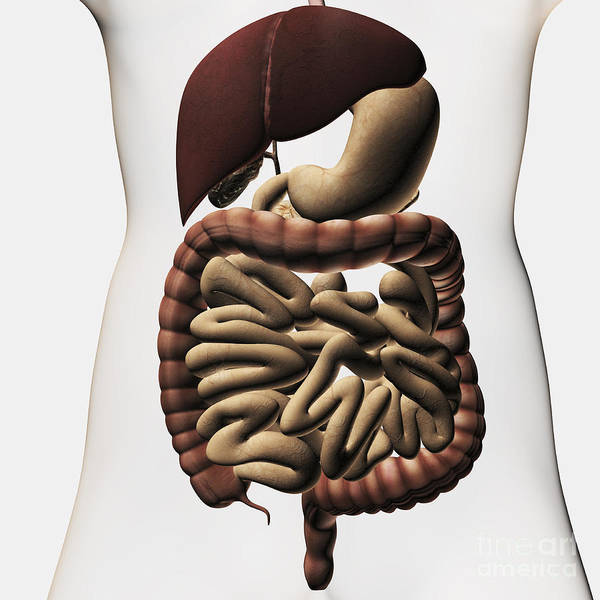 Digestive System Poster featuring the digital art Medical Illustration Showing The Human by Stocktrek Images
