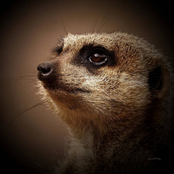 Meerkat Poster featuring the photograph Meerkat 6 by Ernie Echols