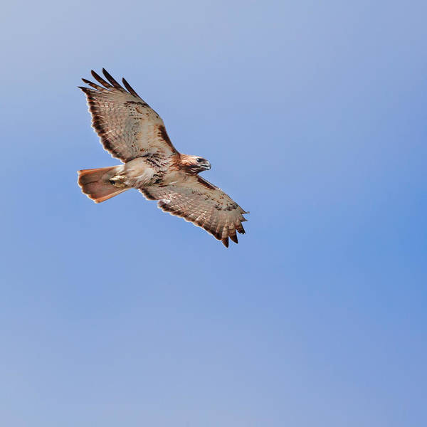 Redtail Hawk Poster featuring the photograph Out Of The Blue Square by Bill Wakeley