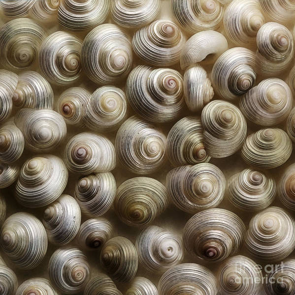 Snails Poster featuring the photograph Pearly by Priska Wettstein