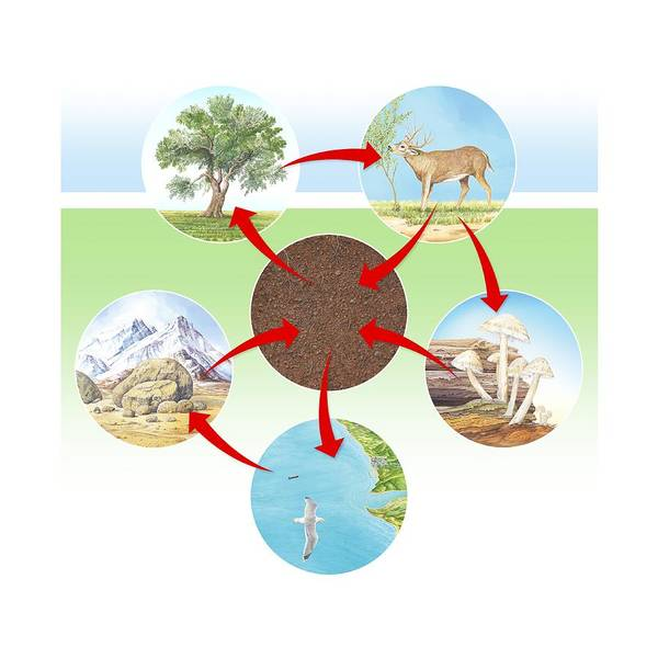 Phosphorus Cycle Diagram Poster By Science Photo Library