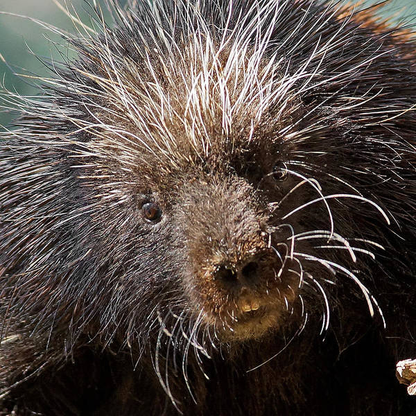 Porcupine Poster featuring the photograph Porcupine by Ernie Echols