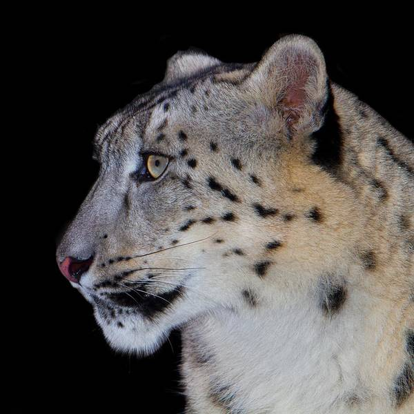 Leopard Poster featuring the photograph Portrait Of A Snow Leopard by John Absher