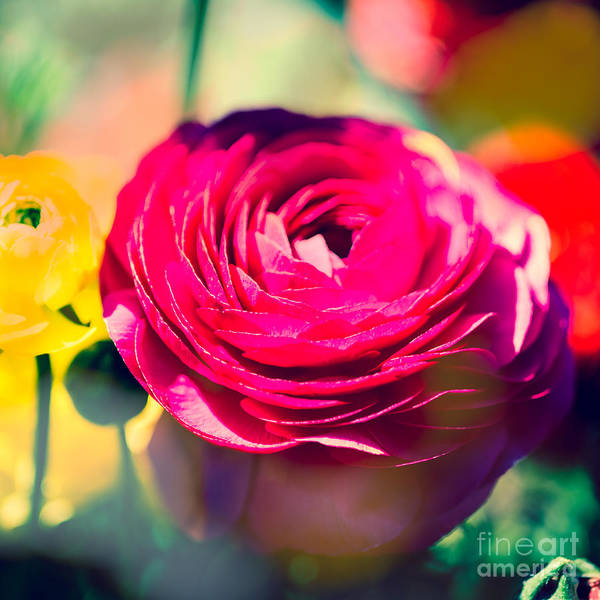 Flower Poster featuring the photograph Ranunculus Squared by Sonja Quintero