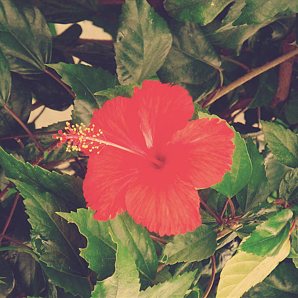 Red Poster featuring the photograph Red Hibiscus Flower by Girish J