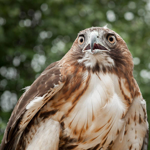 Red Tail Hawk Poster featuring the photograph Red-tailed Hawk Square by Bill Wakeley